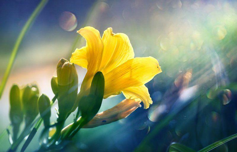 Несорванные лилии...photo preview