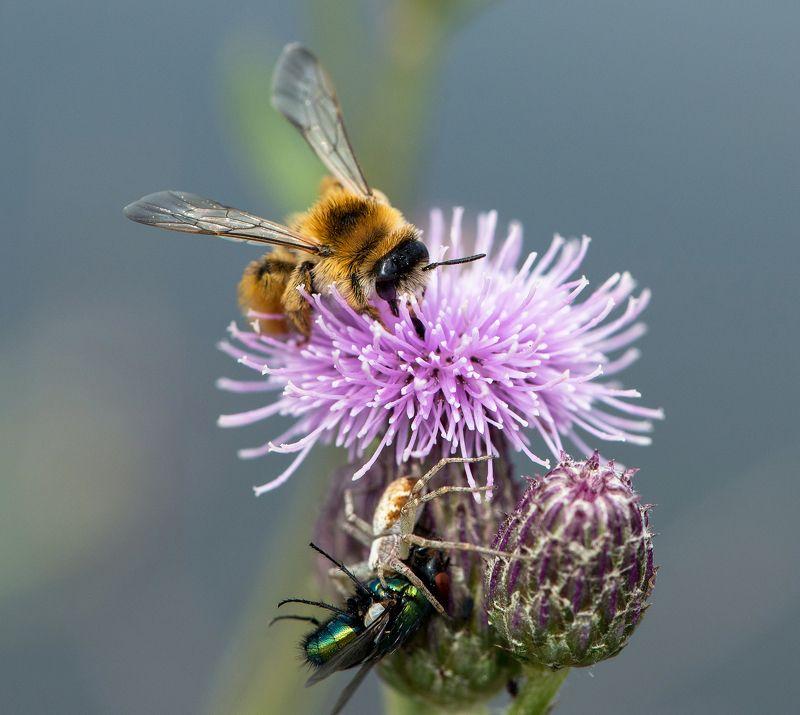 макро, пчела, цветок, паук, муха, жертва, выживание,  Обратная сторона жизниphoto preview