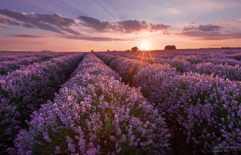 lavender, field, sunset, sun, clouds, sky ***photo preview