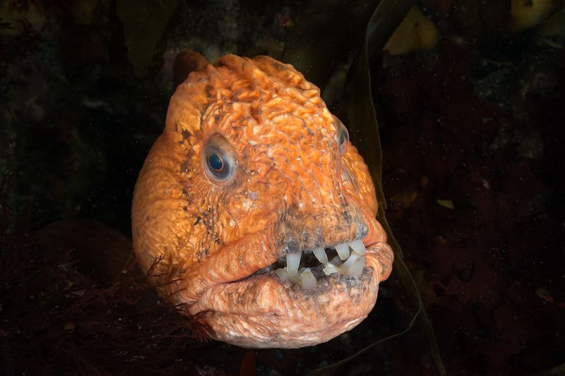 магадан, подводное фото, зубатка Рыба-волкphoto preview