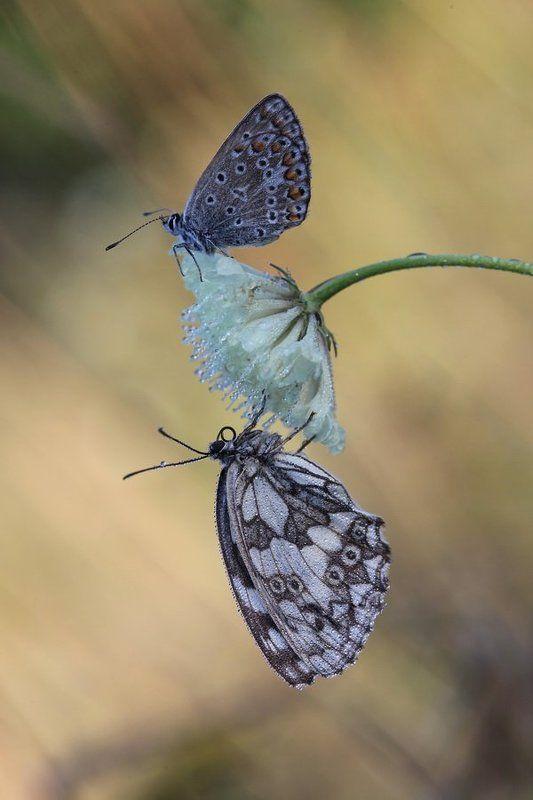 галатея, голубянка,  бабочка, макро ***photo preview