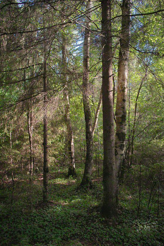 фото, природа, лес, foveon, sigma, дубна, россия Утро в Дубнеphoto preview