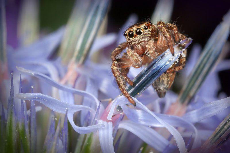 паук, скакун, макро, синеголовник, приморский, Скакунчикphoto preview