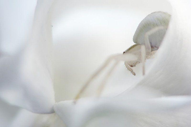 паук, бокоход, белый Элегияphoto preview
