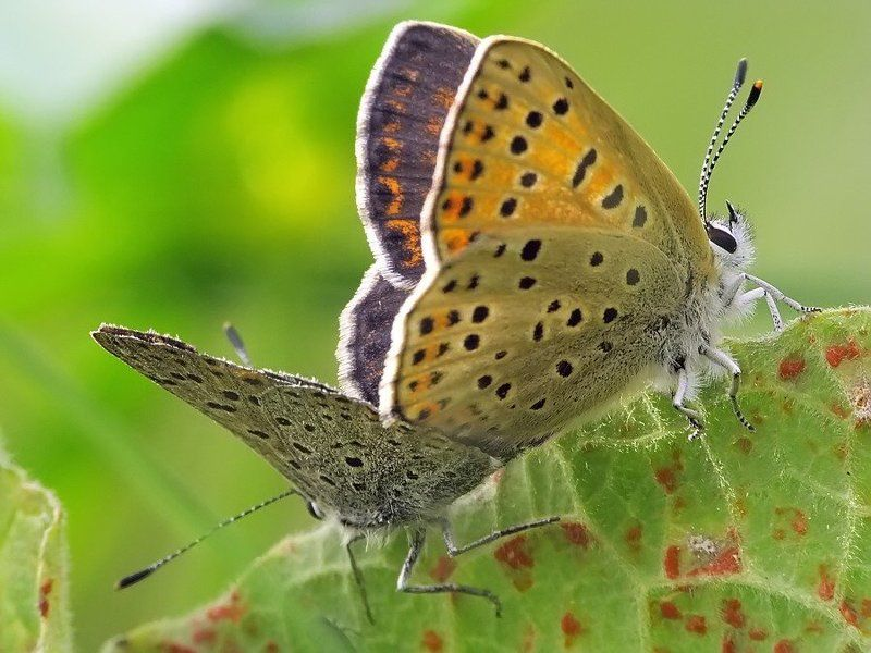 бабочка, голубянка под солнцем осенним...photo preview