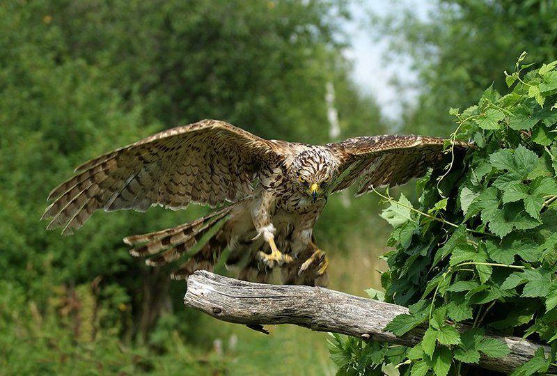 фотоохота, птица, сокол, природа, Мягкая посадкаphoto preview