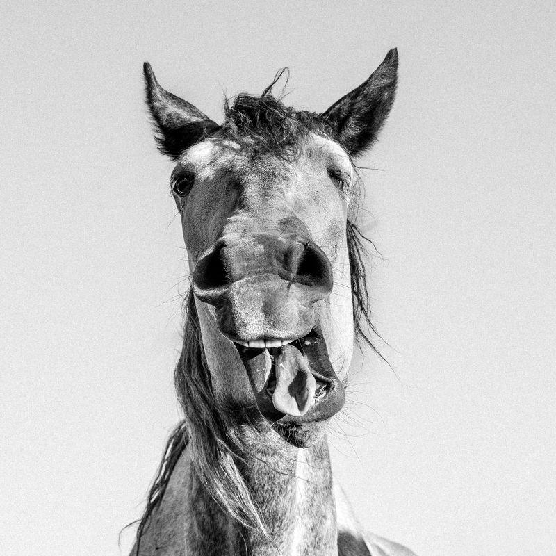 лошади, юмор, чб, портрет, животное, horse Весельчакphoto preview