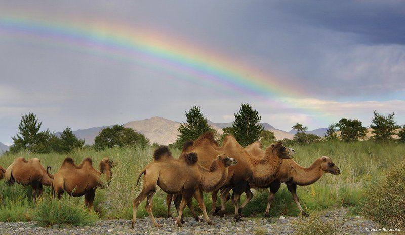 монголия, радуга, верблюды Под радугойphoto preview