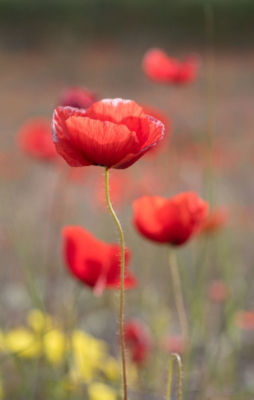 poppies, red flowers, macro Poppiesphoto preview