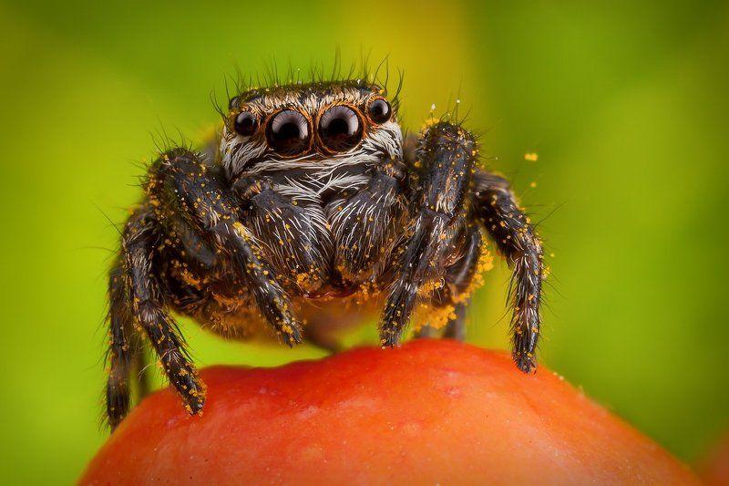 паук, скакун, pябина, макро, пыльца, Счастливчикphoto preview