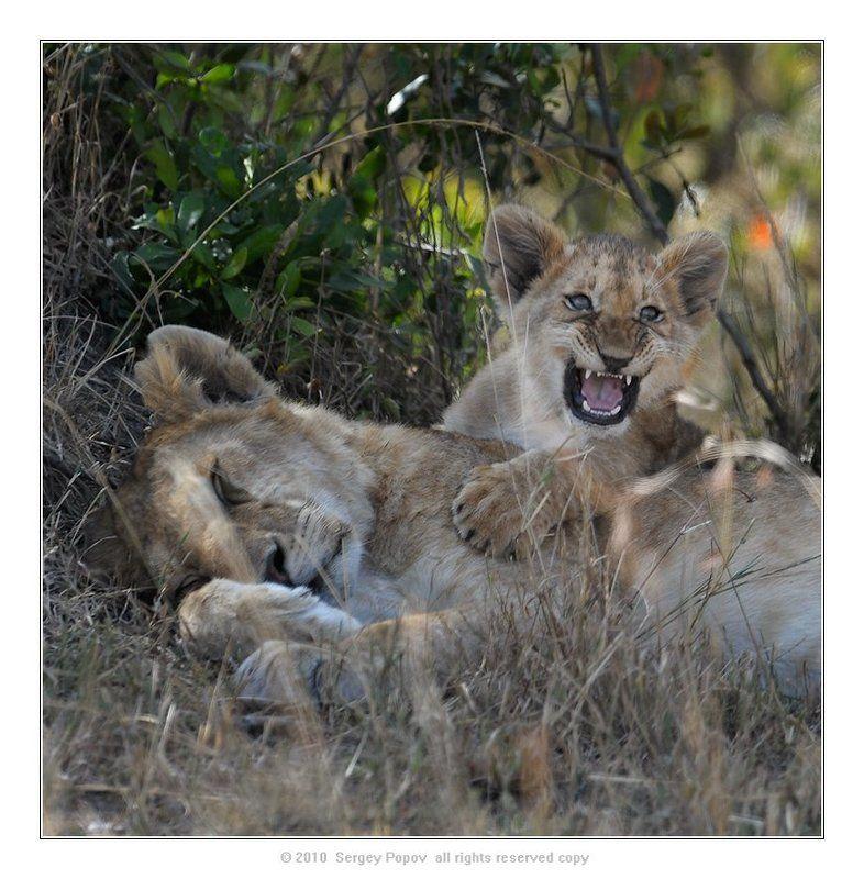 кения, львы, отношения. фотография дикой природы Тихо, мама спит!!!photo preview