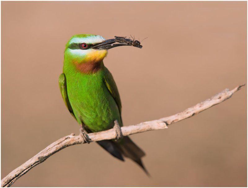 зеленая щурка,птицы,фотоохота Зеленая щуркаphoto preview