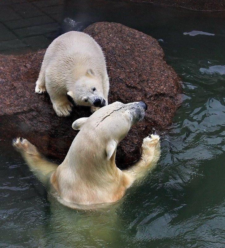 белый, медведь, медвежонок, игра, общение Это мой остров!photo preview