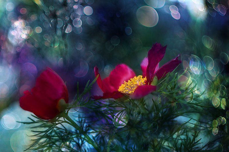 цветы, пионы, paeonia, сорта пионов, блики, макроцветы Paeoniaphoto preview