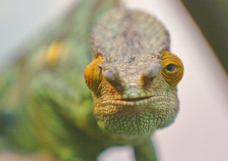Chameleon Chameleon. Portrait.photo preview