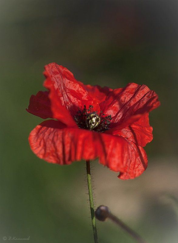 природа, цветы, мак И снова замерев в поклоне...photo preview