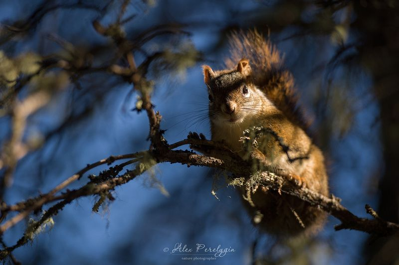 белка Red squirrelphoto preview