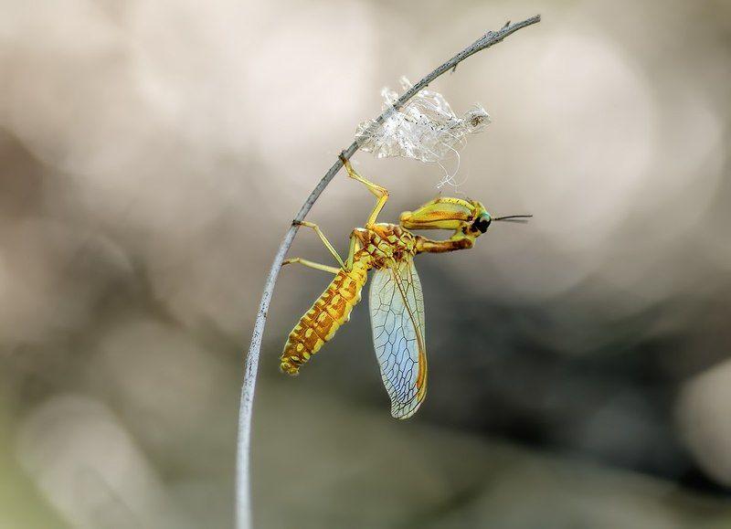 Mantispa lobataphoto preview