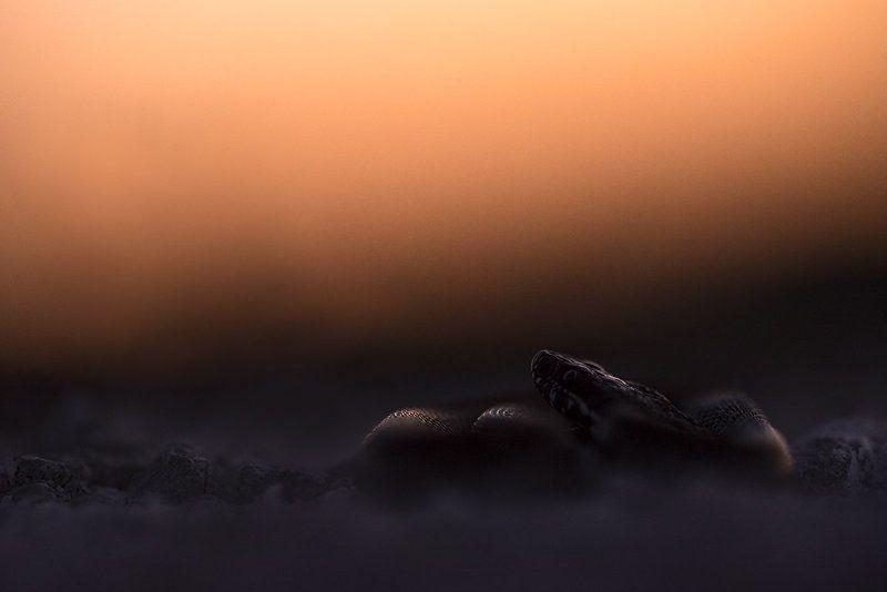 степная гадюка Последние лучиphoto preview