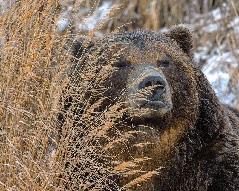 бурый, медведь Я всё вижуphoto preview
