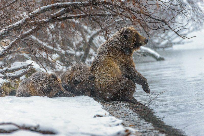 бурый медведь камчатка Опять зима !photo preview