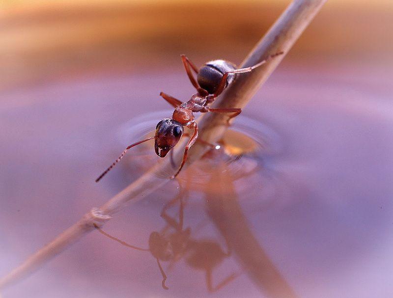 муравьи,макро, Гляжусь в тебя, как в зеркало, до головокружения..photo preview