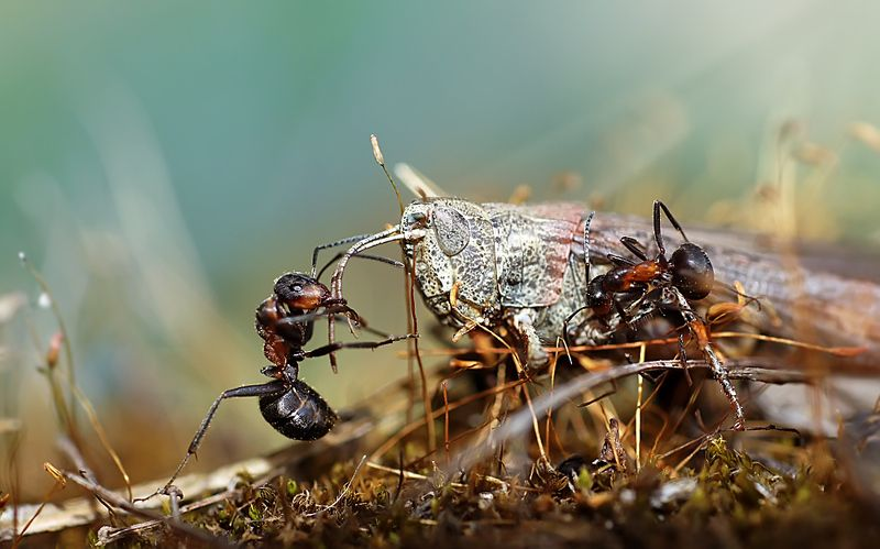 муравьи,макро, Конокрадыphoto preview