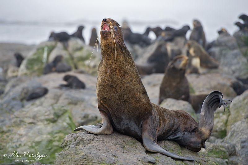 Северный морской котикphoto preview