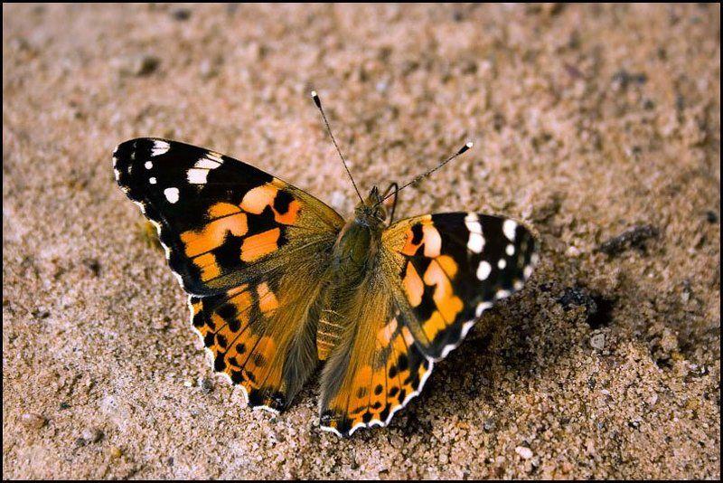 бабочка, крапивница batterflyphoto preview