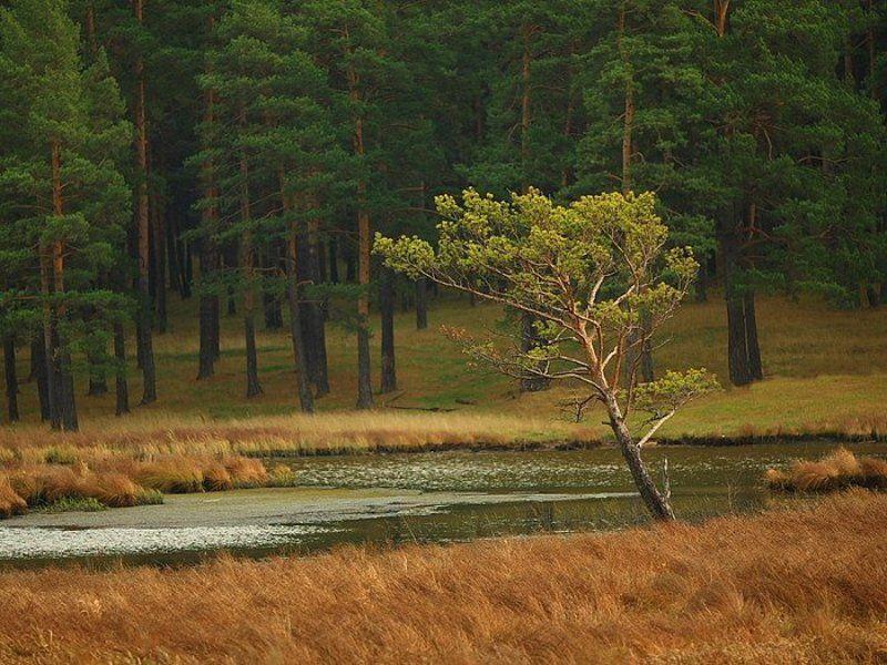 сосна река осень трава лес дерево Японский мотивphoto preview