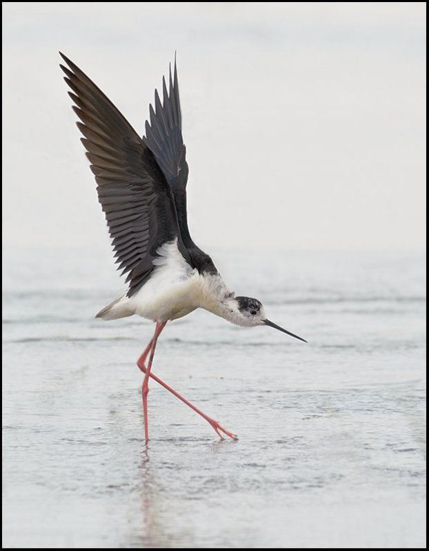 птицы,ходулочник,фотоохота Балеринаphoto preview