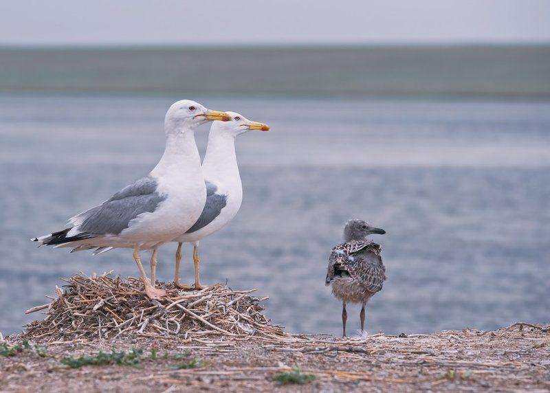 птица,чайка,хохотунья,гнездо,птенец,фотоохота Чайки хохотуньиphoto preview