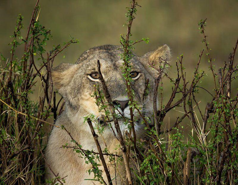 африка, кения, львы |o|o|photo preview
