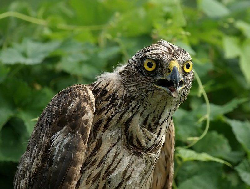 фотоохота, птица, сокол, природа,хищник, Жёлтые глаза...photo preview