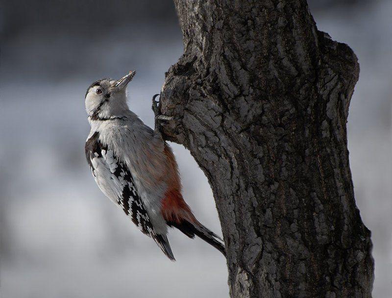птицы,дятел,белоспинный,фотоохота Застукали...photo preview