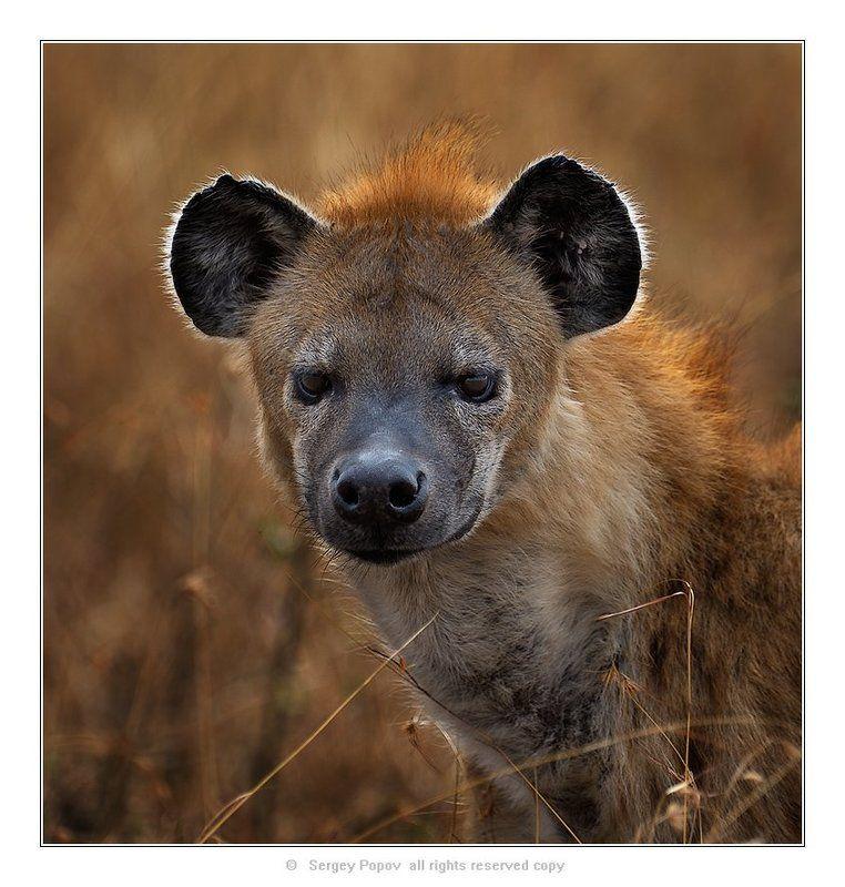 гиена, дикие животные, масай мара, кения Житель солнечной саванны!photo preview