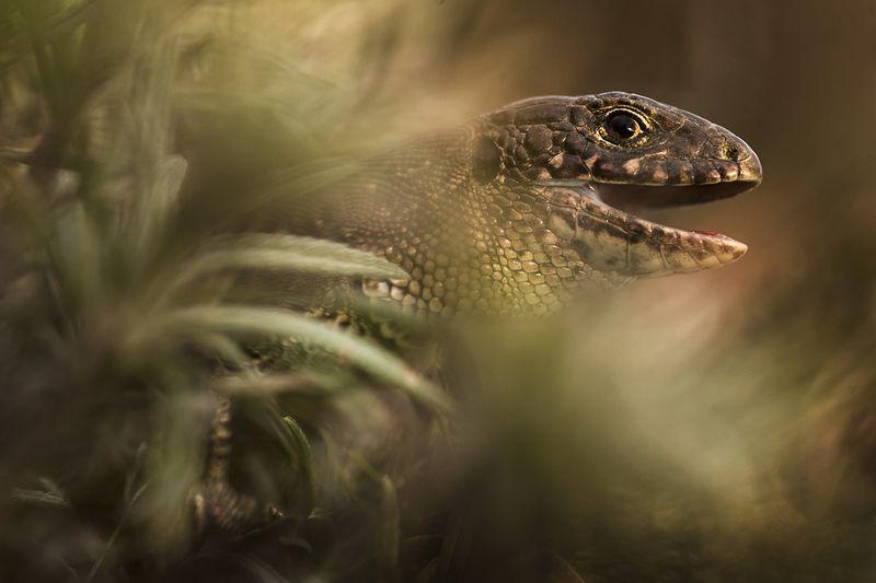 прыткая ящерица Портрет прыткой ящерицыphoto preview