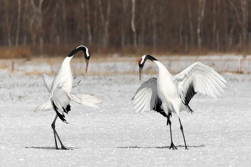 япония, журавли, птицы Я пригласить хочу на танец Вас и только Васphoto preview