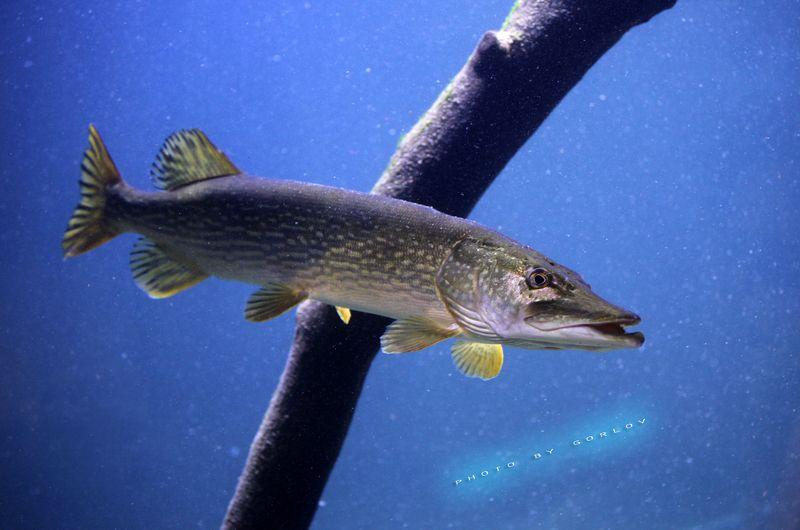 pike, fish, fishing, рыбалка,астрахань, щука, Pikephoto preview