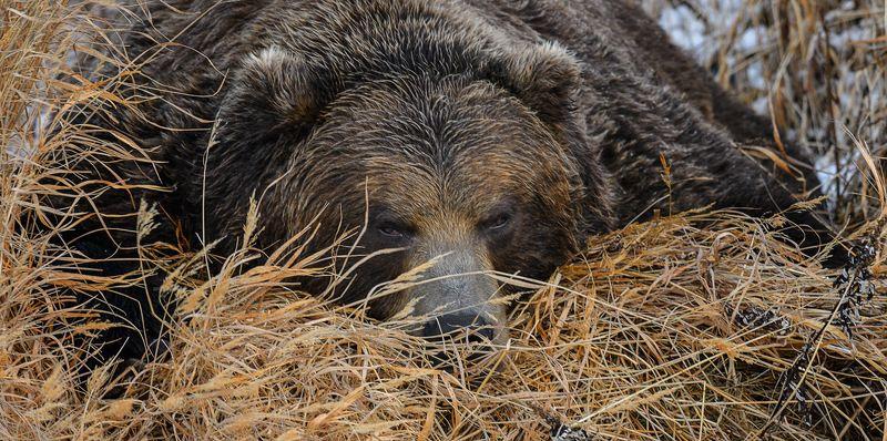 бурый медведь,камчатка, сергей иванов, южно-камчатский заказник То ли в берлогу идти, то ли ещё полежать ?photo preview