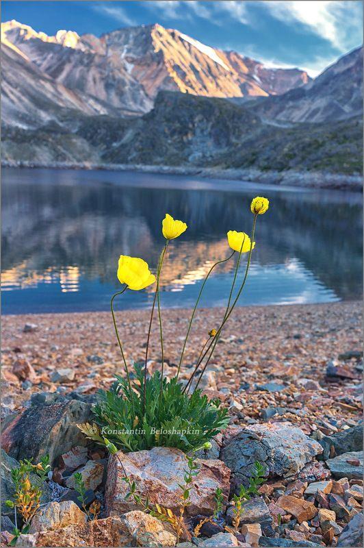 маки, озеро, алтай Маки у горного озераphoto preview