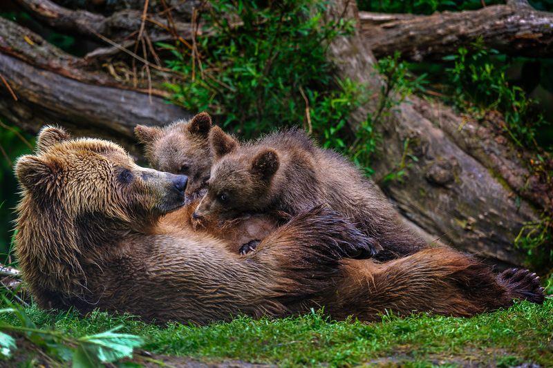 бурый медведь,камчатка, сергей иванов, южно-камчатский заказник Камчатская мадоннаphoto preview