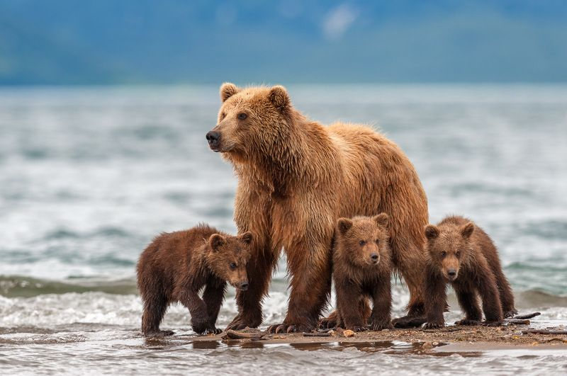 #bear #kamchatka #wildlife #wildlifephotography #wildnature #nikon #outdoors #animal #nature  #naturelovers #bearphoto  #cubs Во все глазаphoto preview