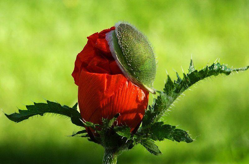 природа, цветы, мак, лето, тепло, Модник в кепочкеphoto preview