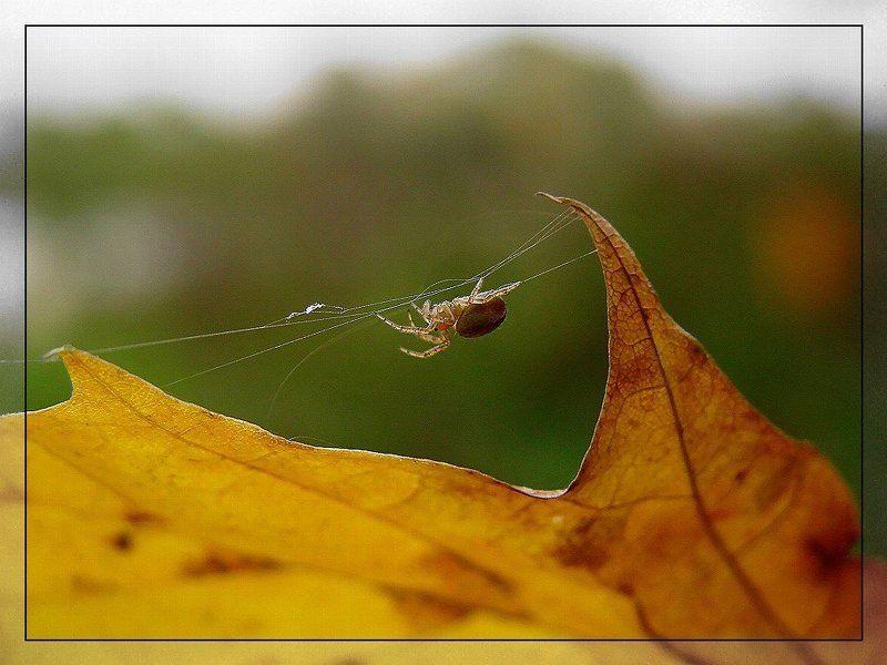 Паучок-листовичокphoto preview