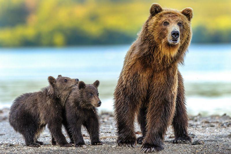 бурый медведь,камчатка, сергей иванов, южно-камчатский заказник Мама ! А кто там ?photo preview