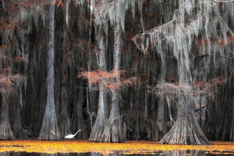 us, texas, #мояамерика, swamps, cypresses, egret, цапля гуси-лебеди мои..photo preview