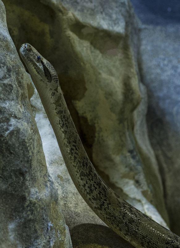 Boa constrictorphoto preview