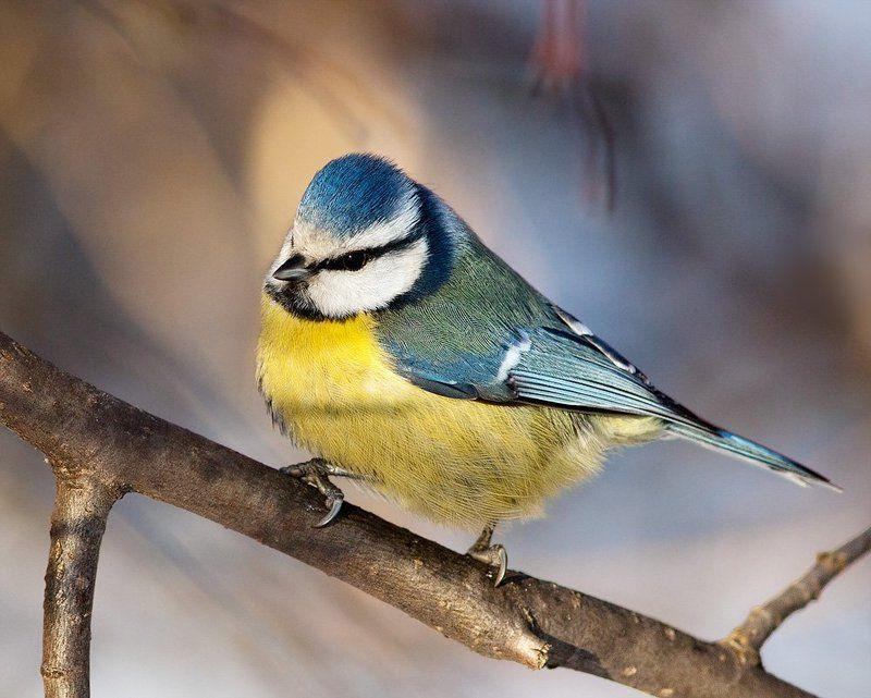 птицы, синица, лазоревка Лазоревкаphoto preview