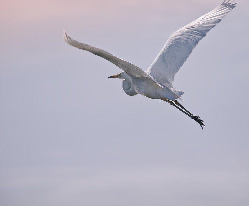 птицы,большая,белая,цапля,фотоохота К солнцуphoto preview